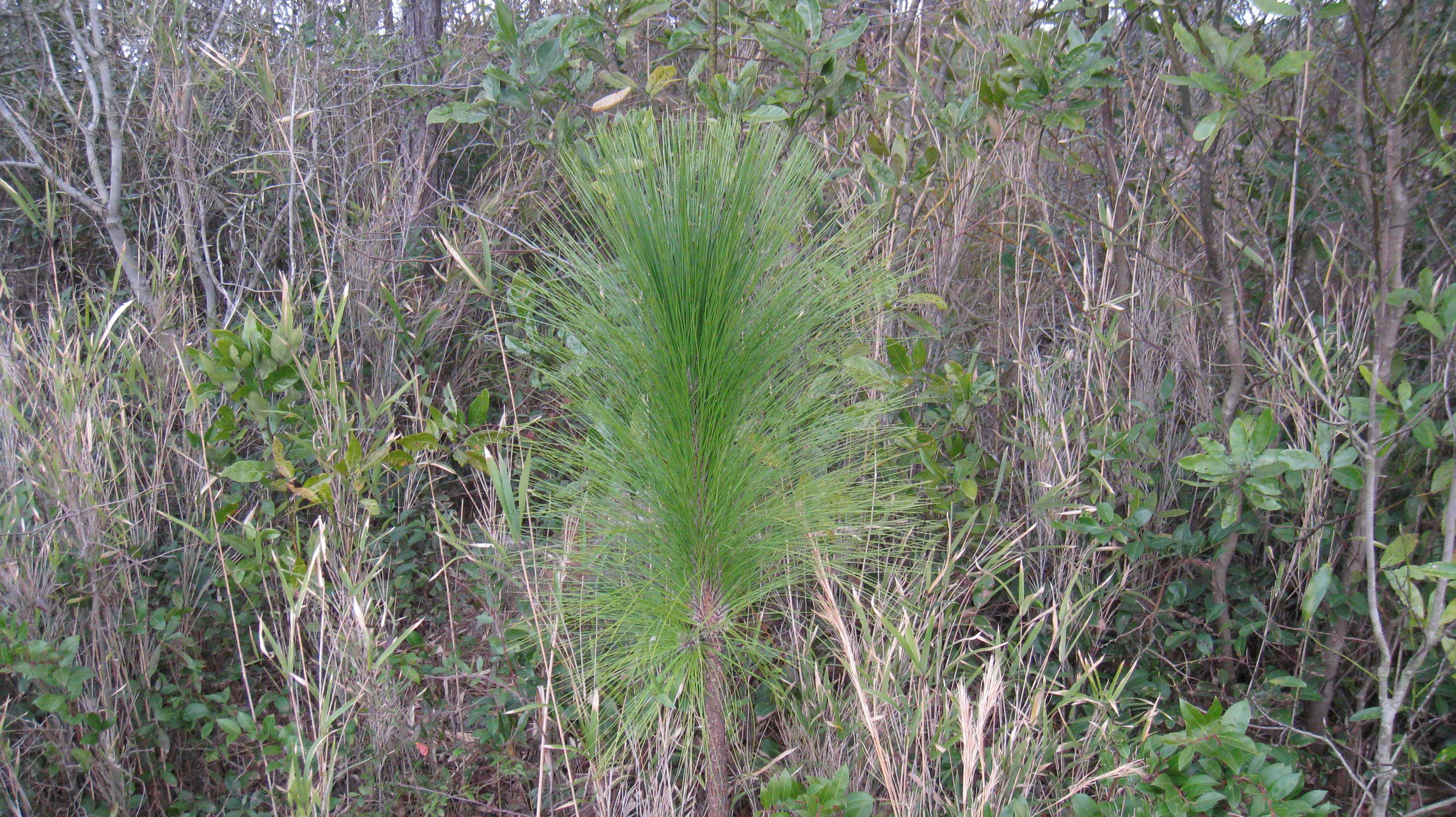 Long leaf pine grows abundantly in Southeastern North Carolina