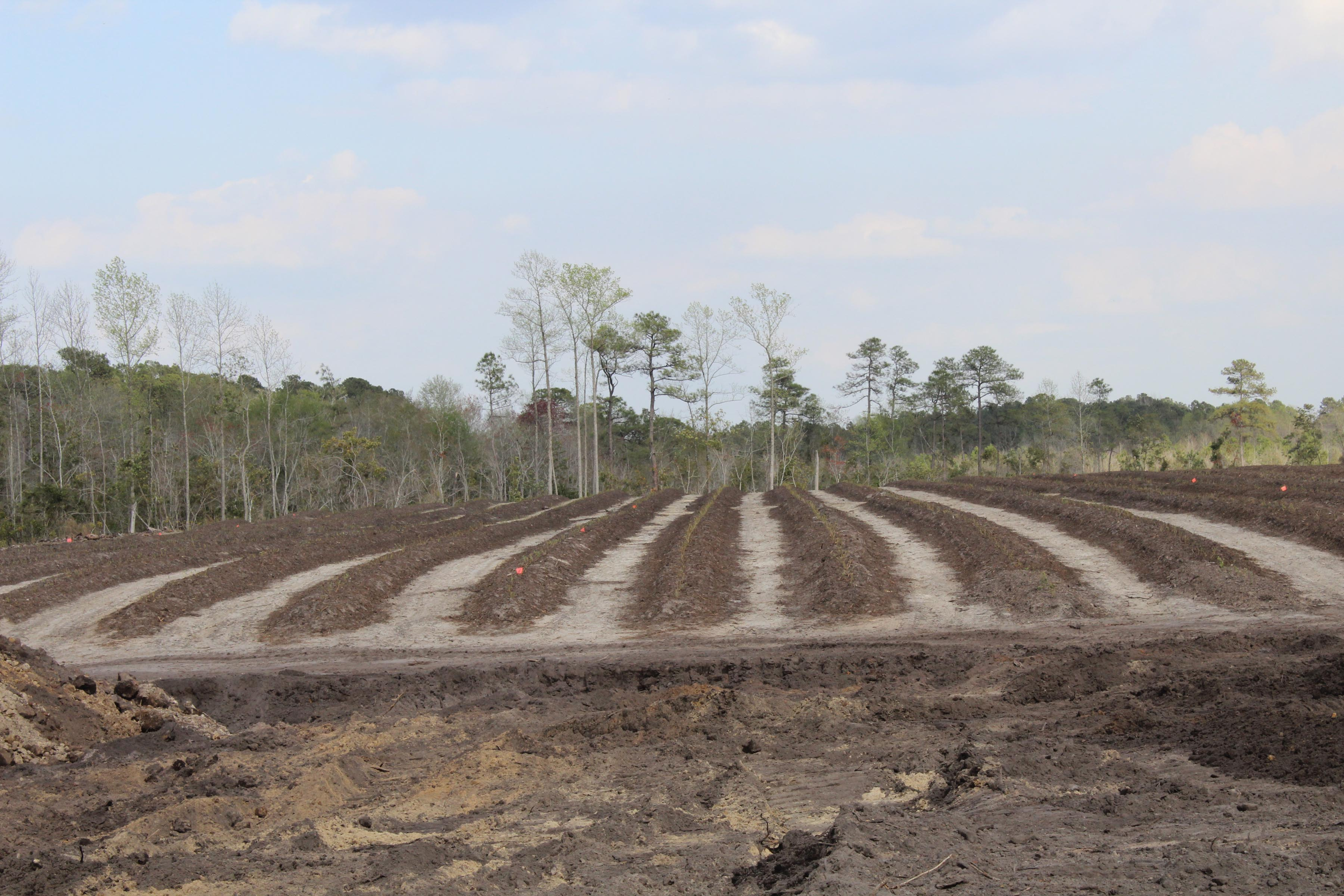 New rows of Blueberry plants