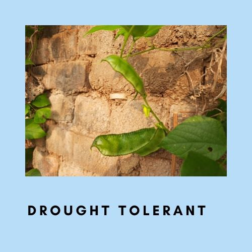 Legumes are drought tolerant