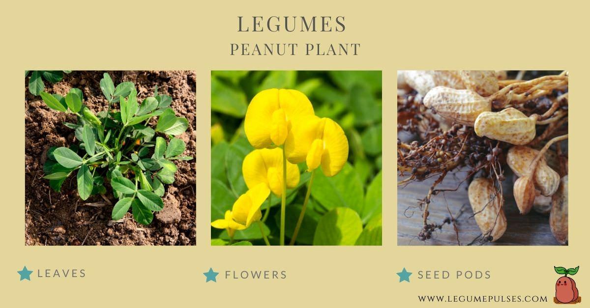 Parts of a peanut plant