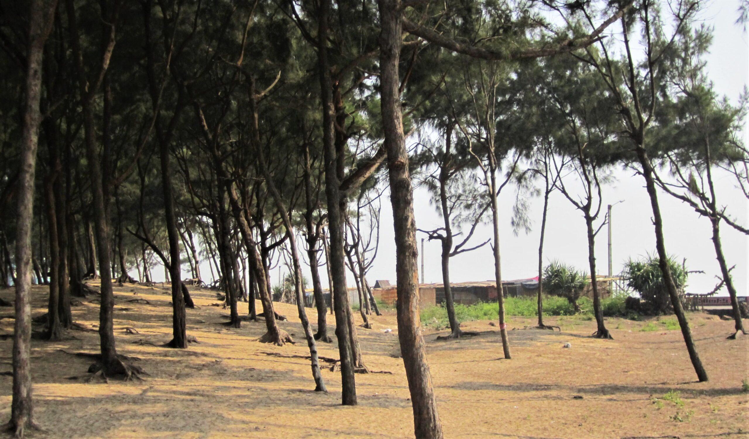 Casuarina tree plantation at Old Digha Beach