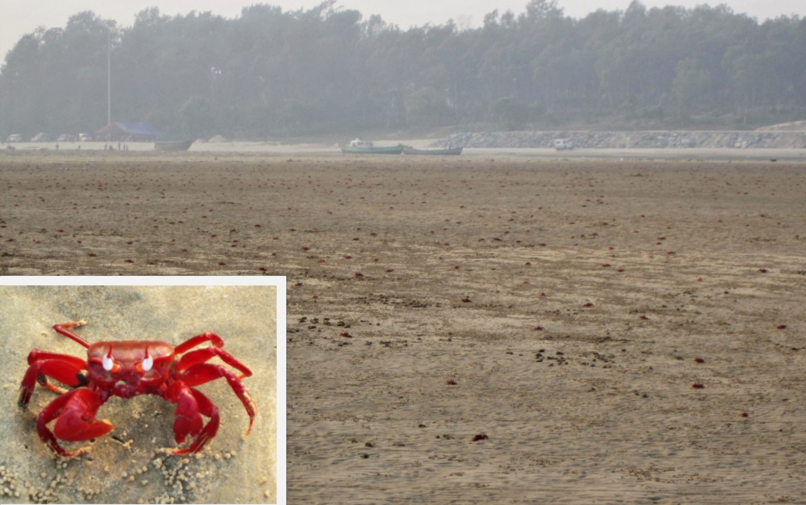 Red Crabs at Talsari Beach