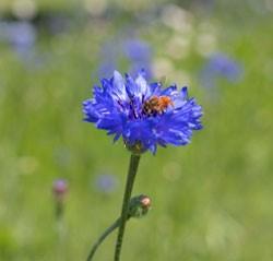 Richardson Wildflowers in Bloom