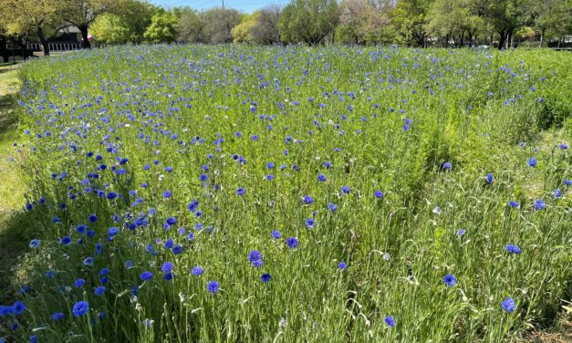 Wildflowers Around Richardson Are Starting To Bloom