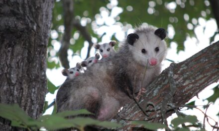 Richardson Wildlife Spotlight: Opossums