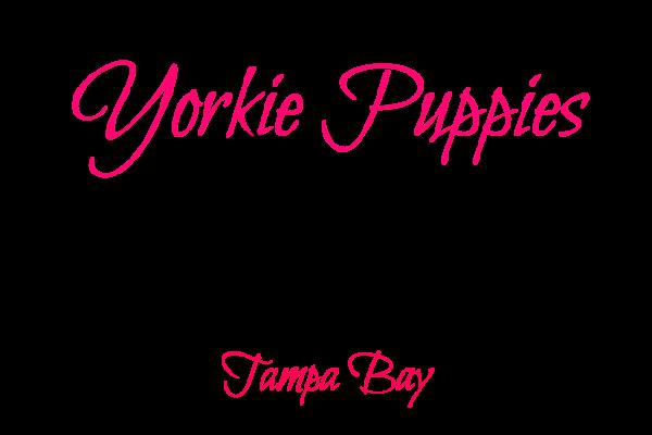 Yorkie Puppies Tampa Bay - Heather Crest Kennels