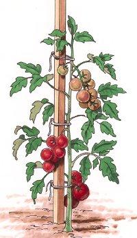tomato-staking