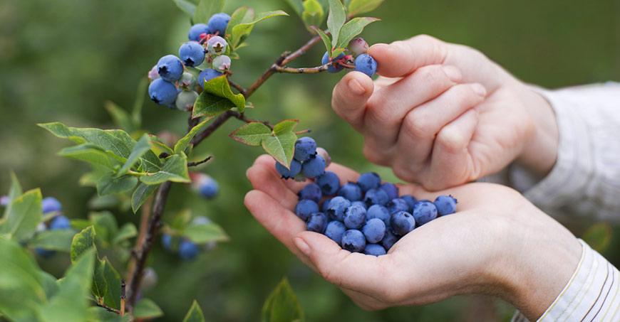 Blueberry picking near Baton Rouge