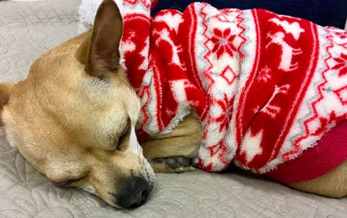 Chihuahua named Peanut takes a nap wearing a bright red sweater.
