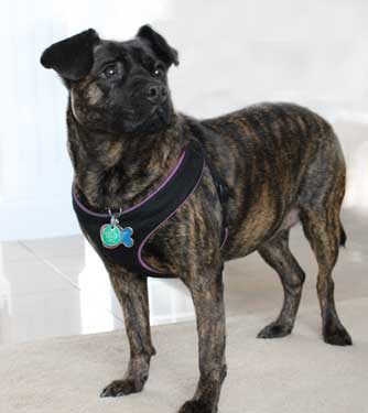 Dr. Cuesta's dog Patience, a brindle mixed breed.