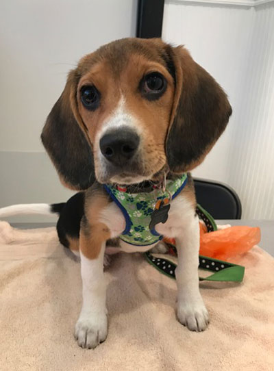 Sophie Beagle puppy wearing a green harness poses on exam table at Airport Animal Hospital during vet visit.