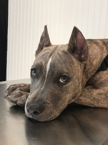 Beautiful grey brindle Pit Bull with ear crop looks at camera with his blue eyes.