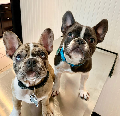 Two Boston Terrier dogs look up at the camera at the vet's.