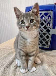 Grey kitten visits the vet in her blue carrier