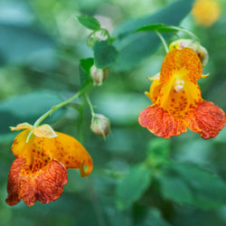 jewelweed blossoms