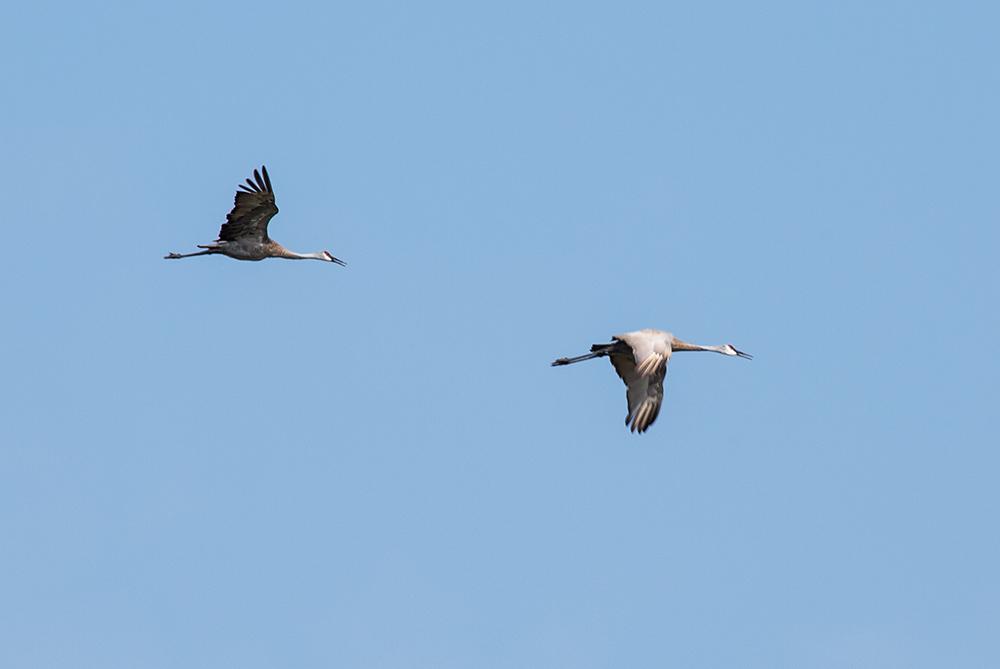 Two Sandhill cranes.