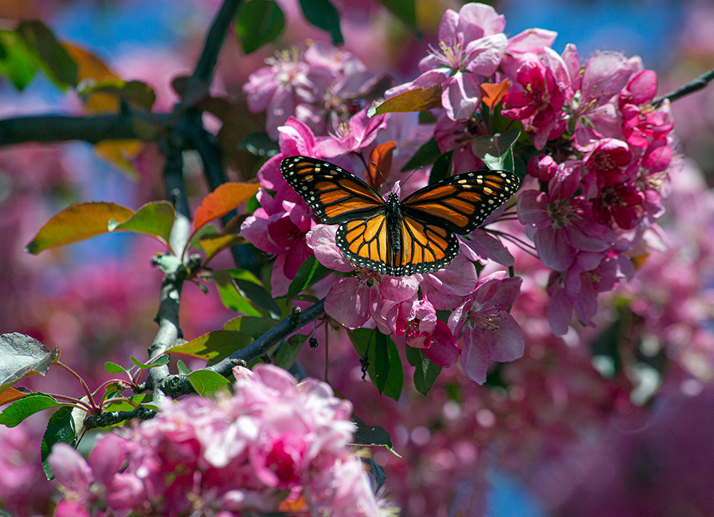 A monarch butterfly resting on bright pink crab apple blossoms at Veterans Park, Milwaukee