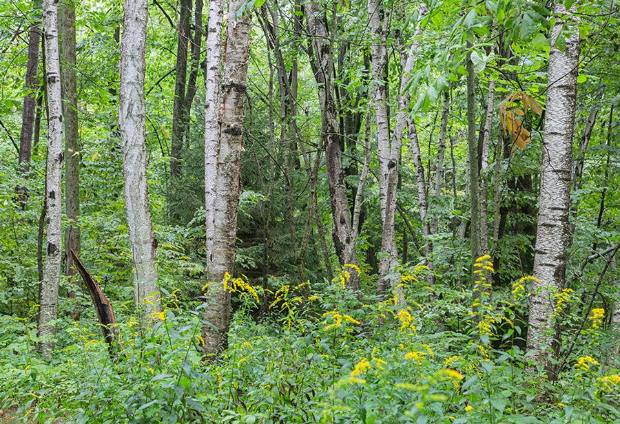 birch tree grove with goldenrod