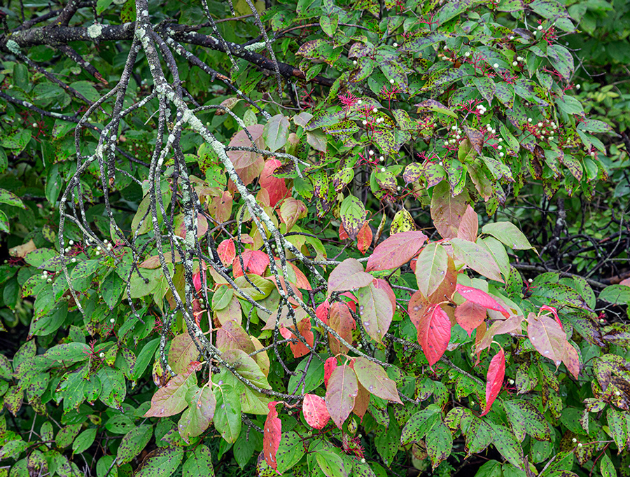 gray dogwood with bright red and green leaves and berries