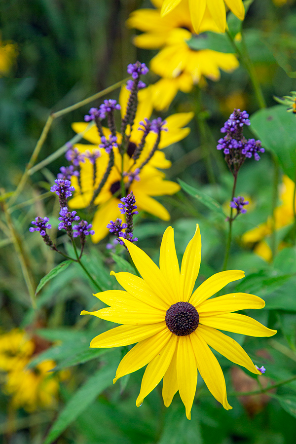 Black-eyed Susan and blue vervain