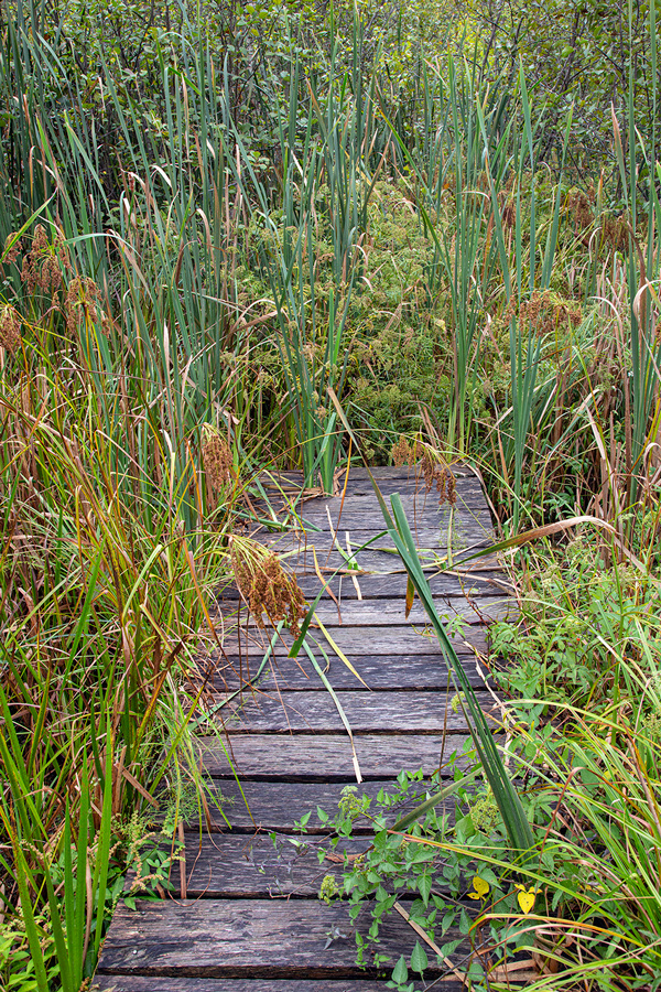 The end of the boardwalk in a wetland with cattails