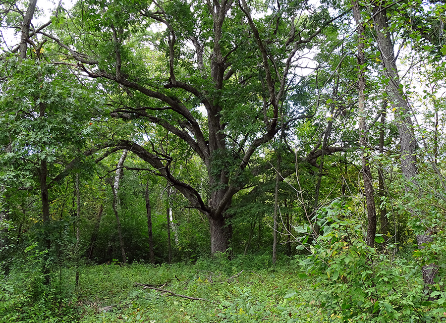 A large oak in a woodland opening
