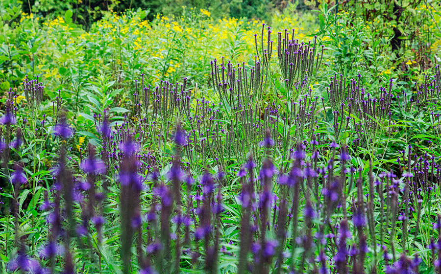 A palisade of blue vervain in bloom