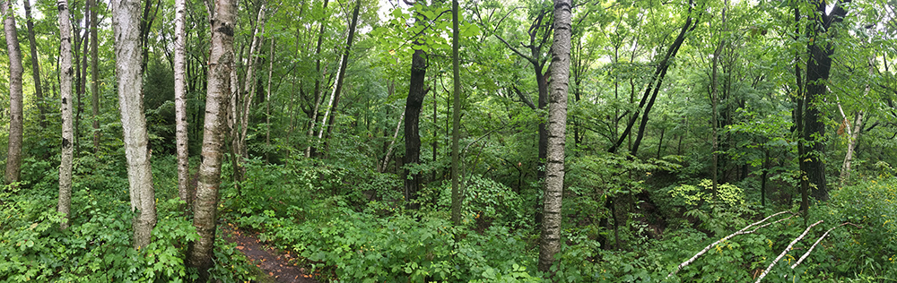 Woodland panorama