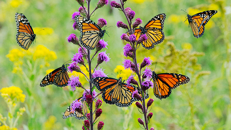 monarch butterflies and blazing star blossoms