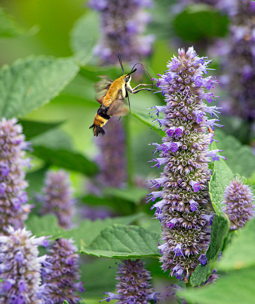 Hummingbird clearwing moth on anise hyssop blossoms