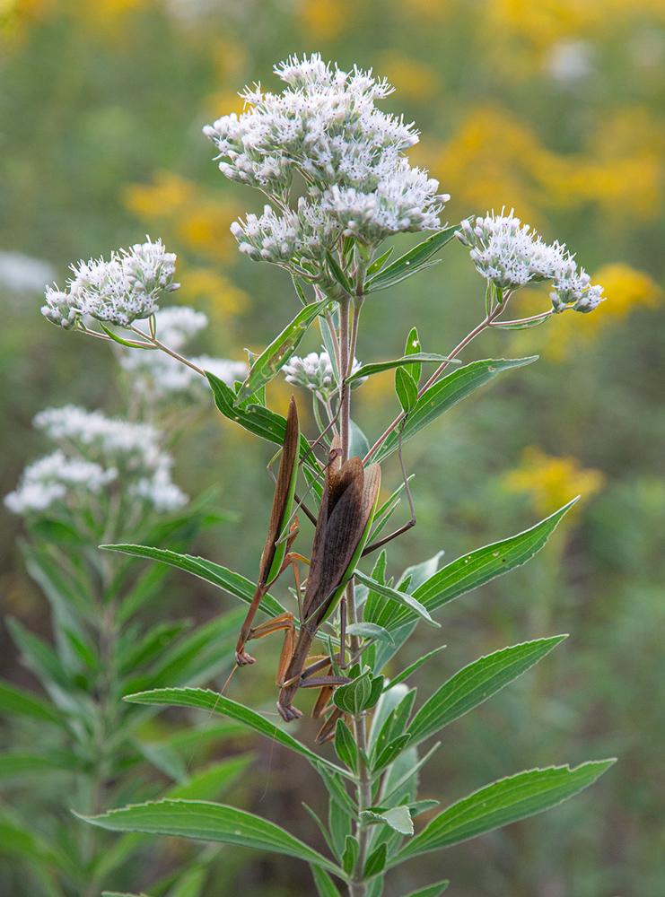 Praying mantises mating on a boneset flower