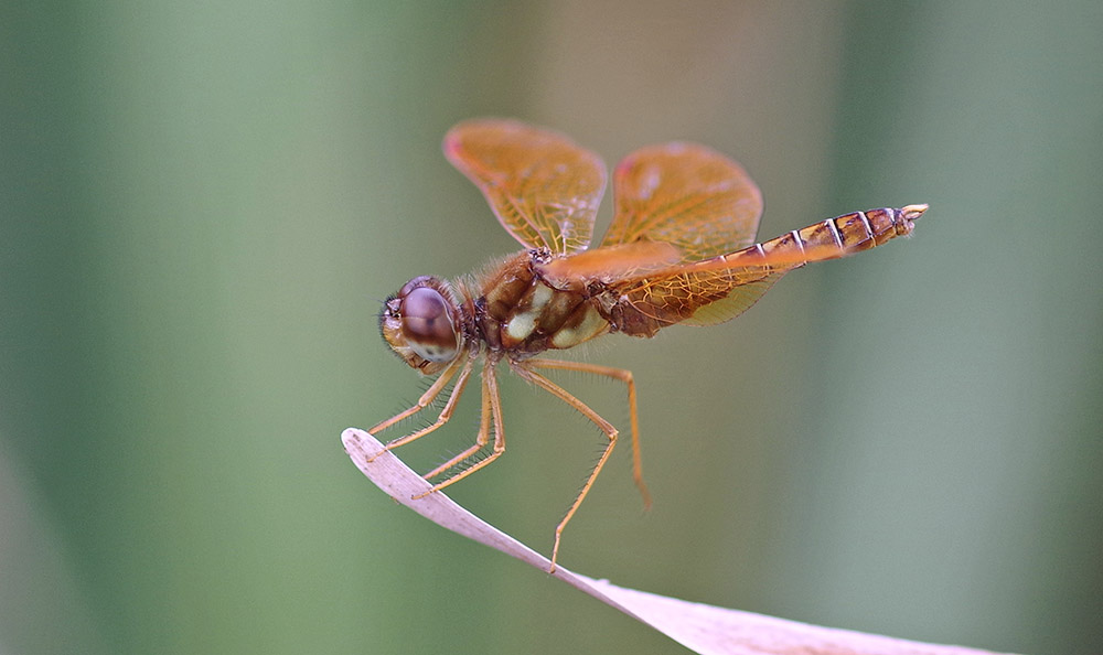 Eastern amberwing dragonfly.