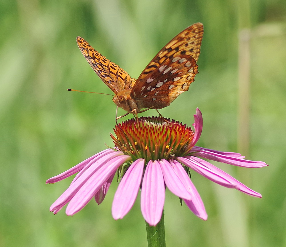 Great spangled fritillary butterfly on purple coneflower.