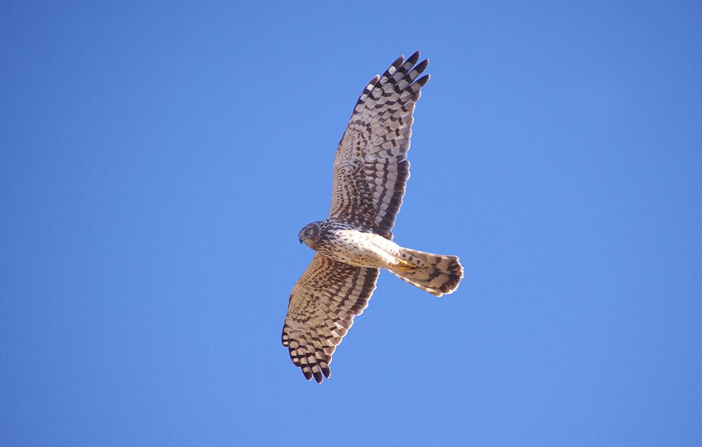 Northern harrier hawk.