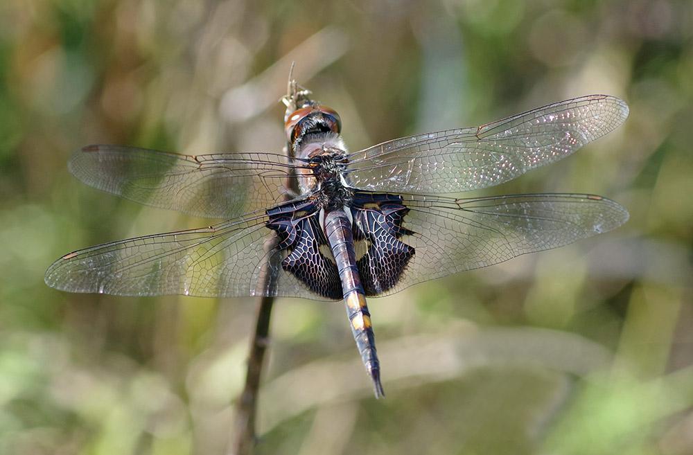 Black saddlebags dragonfly.