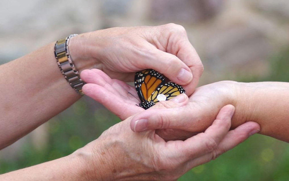 Tagging a monarch butterfly.