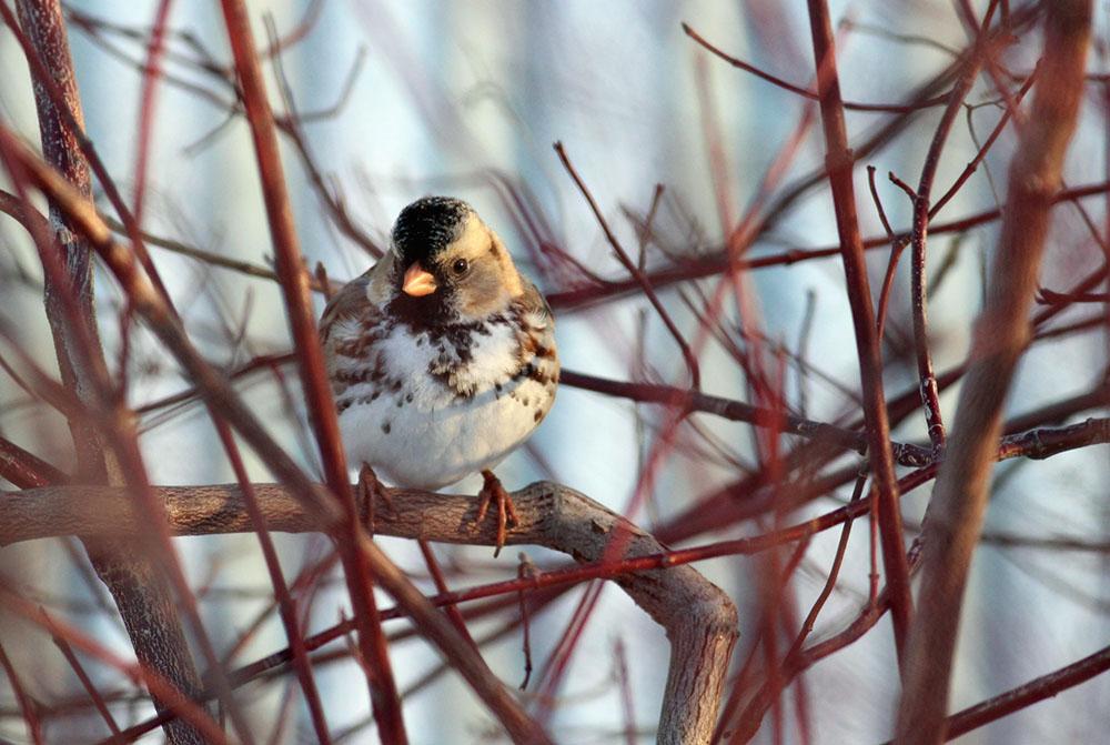 Harris sparrow