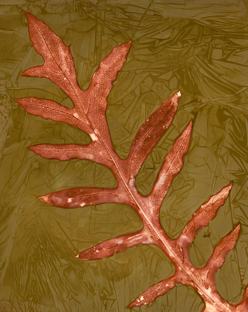 """Compass Plant Leaf."" Lumen print."