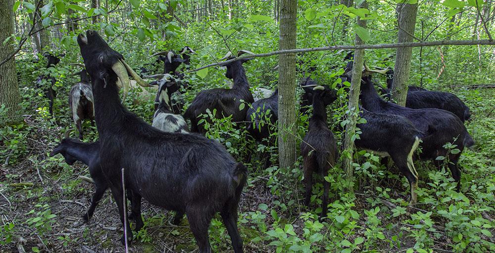 goats eating buckthorn