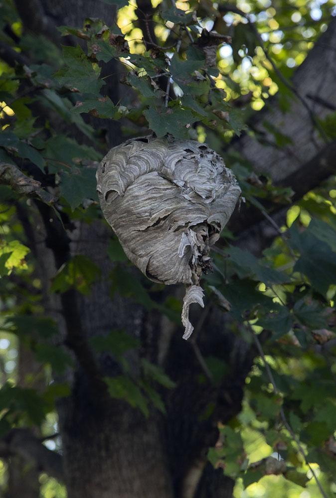 Paper wasp nest. Blue Heron Wildlife Sanctuary.