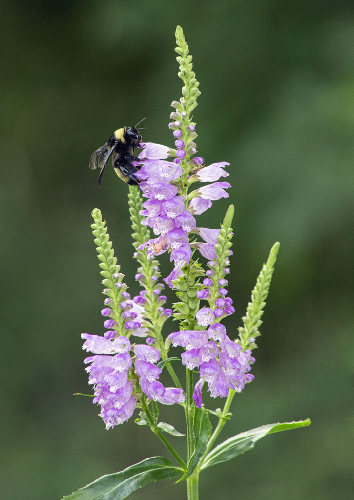 A pollinator bee on a blossoming obedient plant