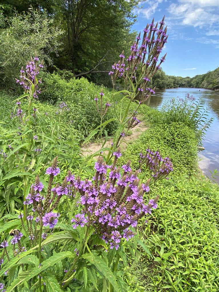 Blue vervain in bloom, Pleasant Valley