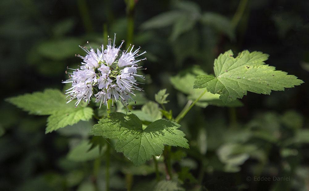 Virginia waterleaf in bloom at Fairy Chasm