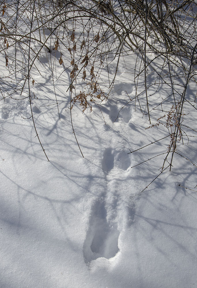 Galloping rabbit tracks lead into cover.