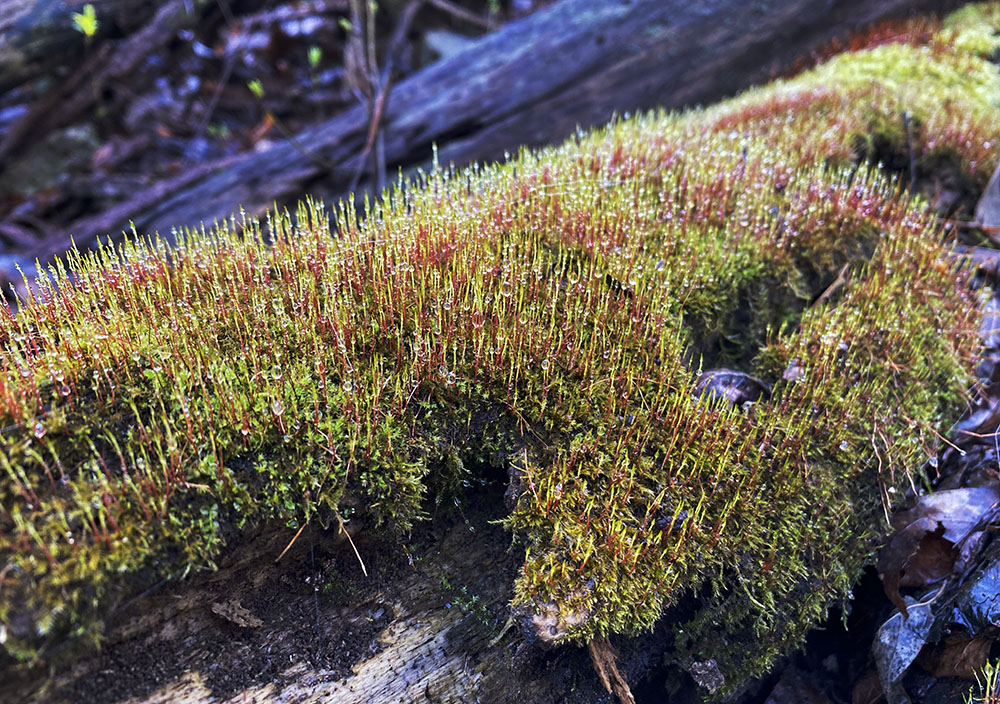 Moss glistening with the morning dew.