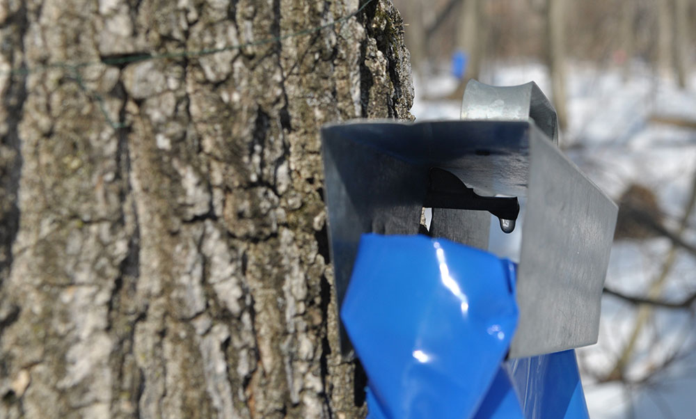 Sweet goodness dripping from a Sugar Maple at Riveredge Nature Center.
