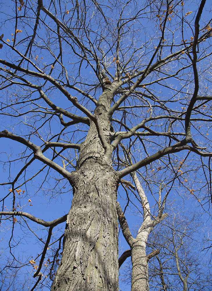 Sugar Maple with opposite branching.