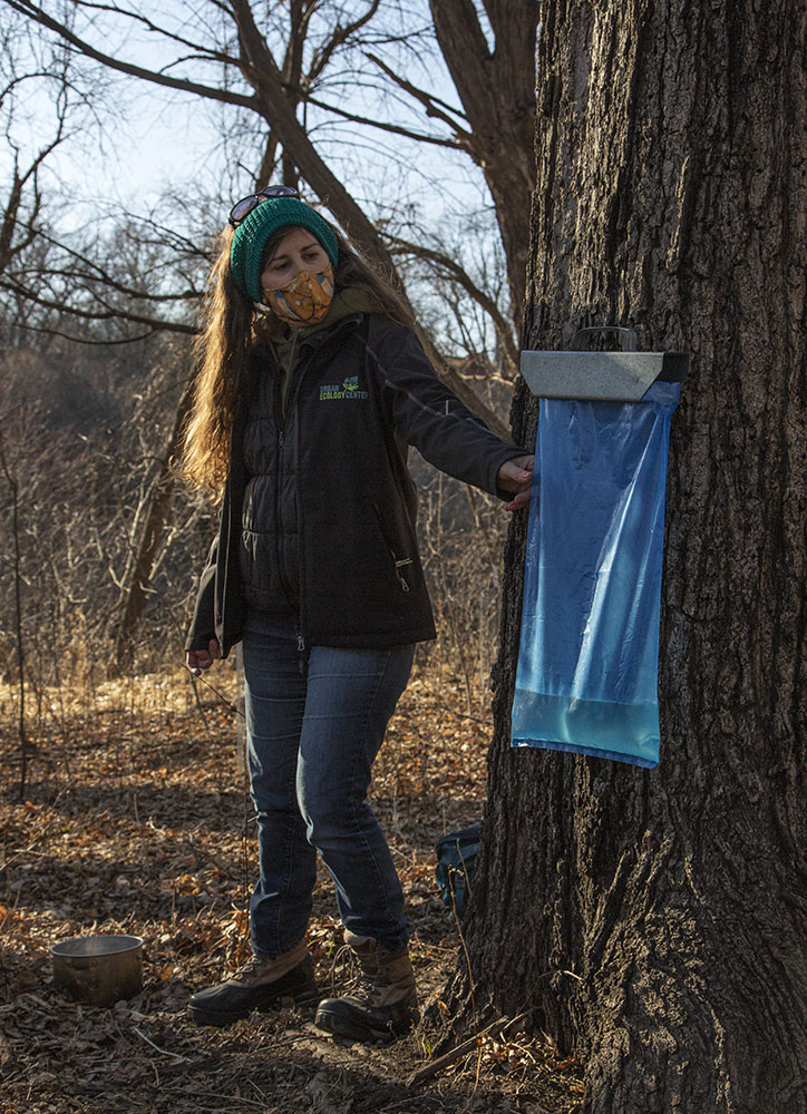 Tory Bahe of Urban Ecology Center in Riverside Park with sap collection bag on Sugar Maple.