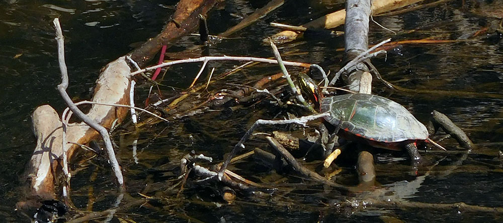 painted turtle by river