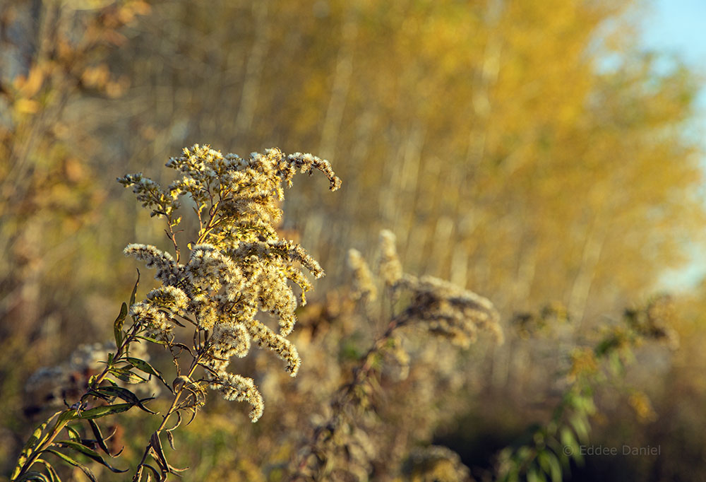 Goldenrod and golden glow
